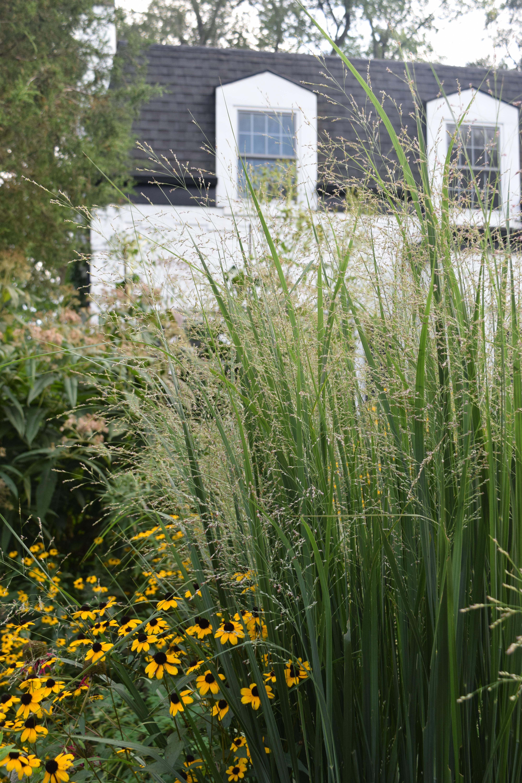 The best ornamental grass in the universe gardeninacity 2014 09 01 171453 switchgrass workwithnaturefo