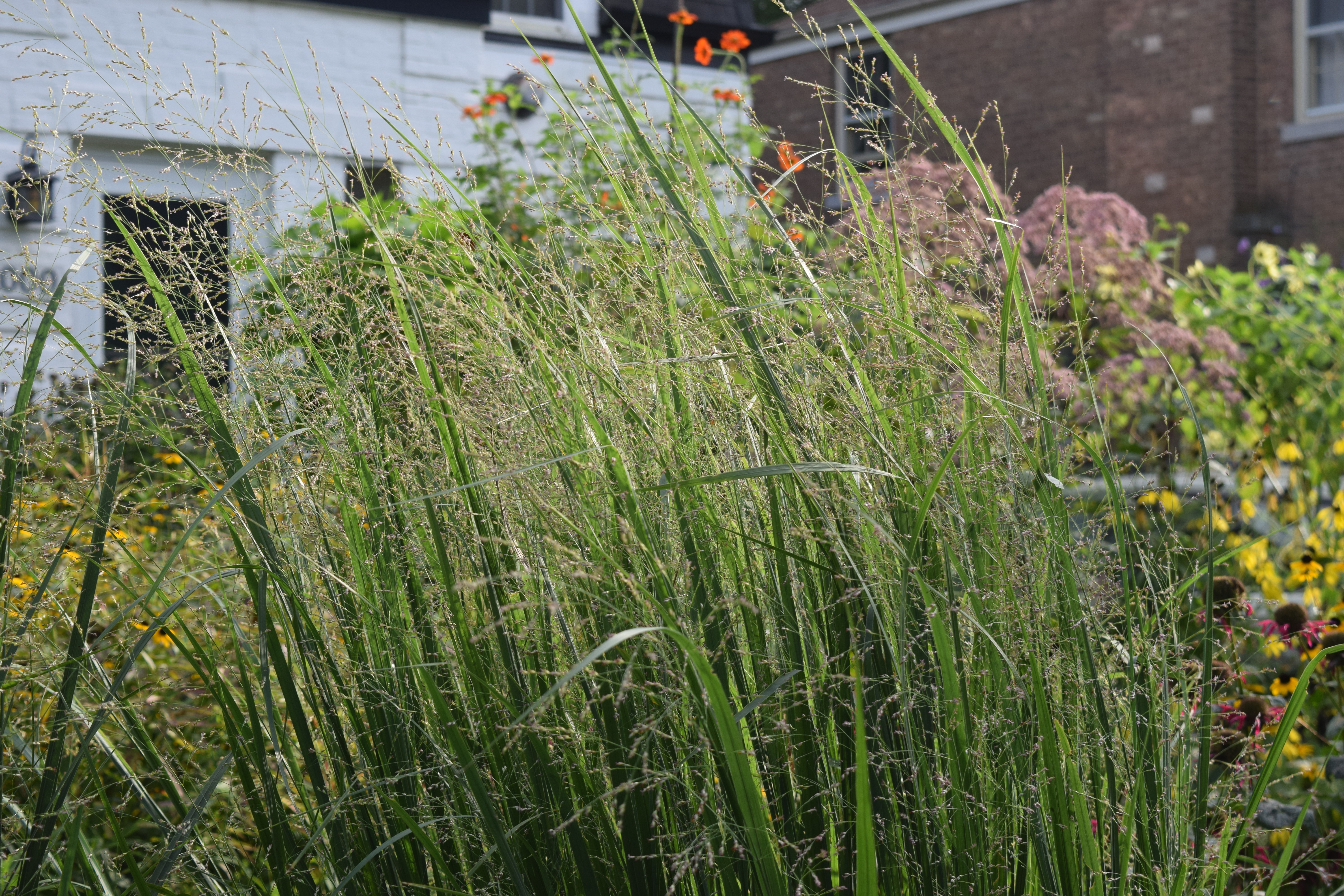The best ornamental grass in the universe gardeninacity for Fast growing tall grass