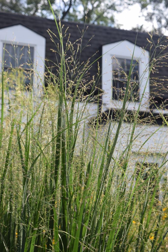 2014-09-01 17.16.03 switchgrass