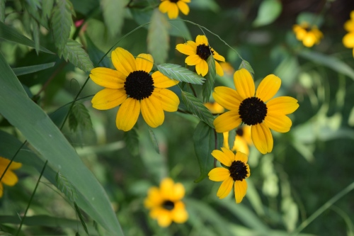 Brown-Eyed Susan flowers up close.