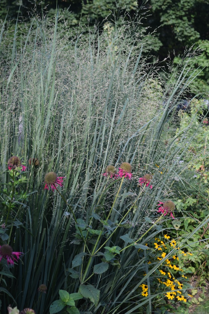 2014-09-01 17.22.03 Northwind Switchgrass