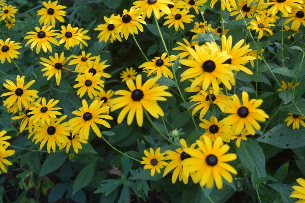 2014-09-01 17.35.11 black eyed susan