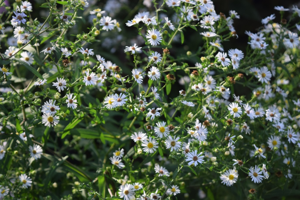 Crooked Stem Aster