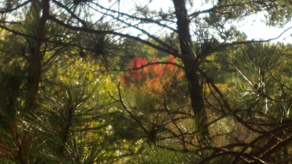 One of the first maple trees turning color, viewed through branches of white pine.