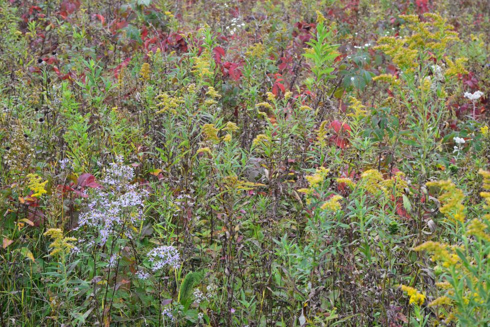 Goldenrod, aster, and wild raspberry