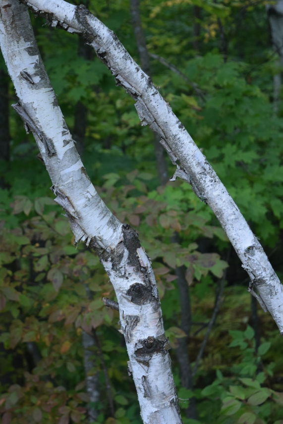 Birch trunks.
