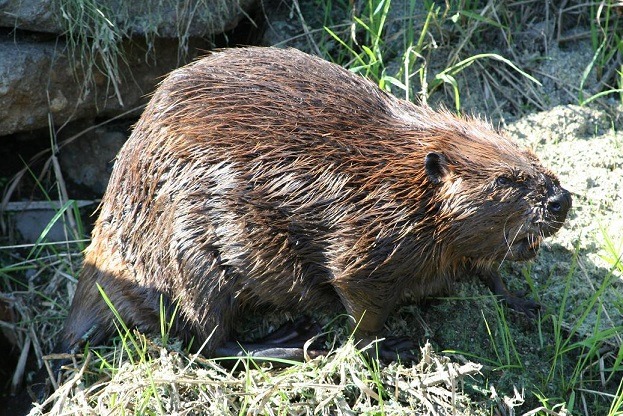 Beaver on the rampage. Photo: Lauren Smith.