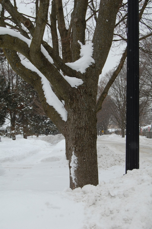 Even while dying, our late Maple had its moments, especially in winter.