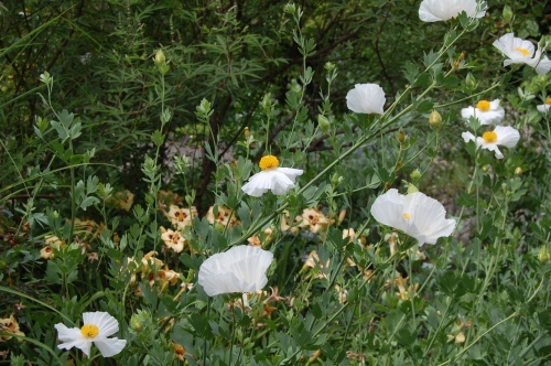 Matilija Poppy. Wish we could grow these in Chicago.