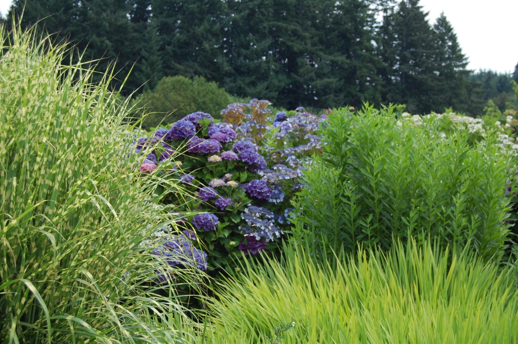 Blue Hydrangea and grasses at the Joy Creek display garden.