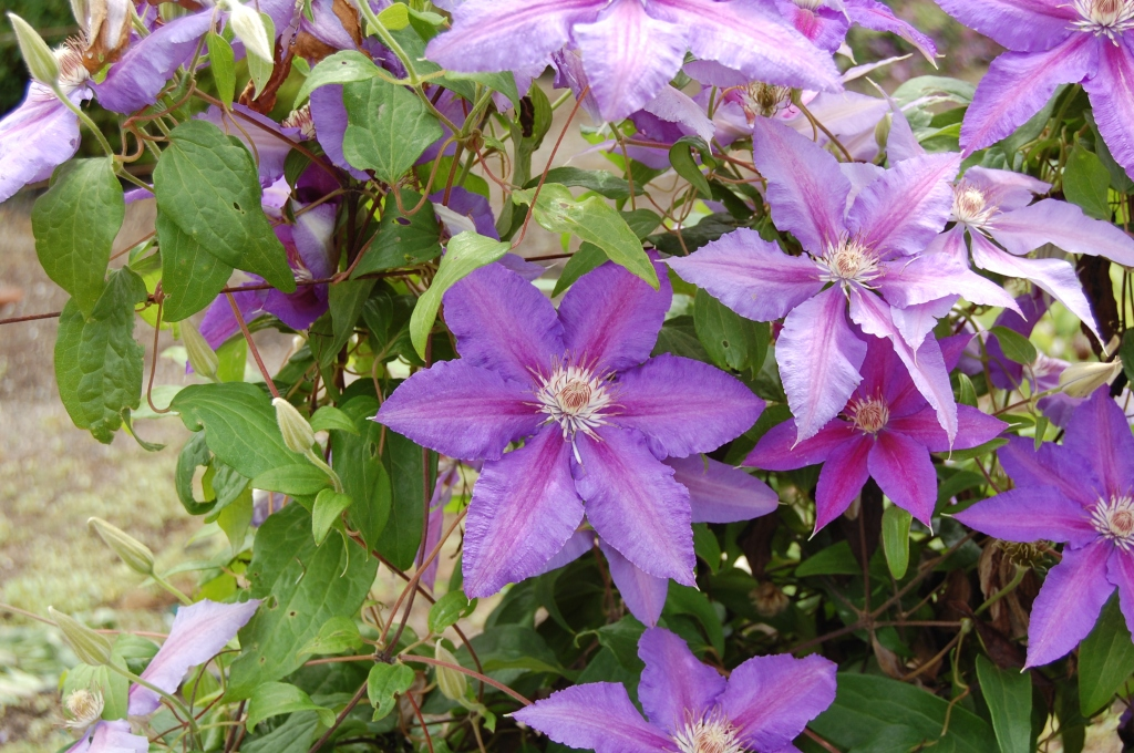 2014-07-11 16.29.16 joy creek clematis