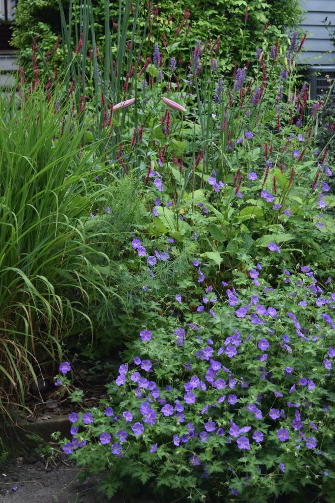 2014-07-13 11.35.19 geranium and persicaria