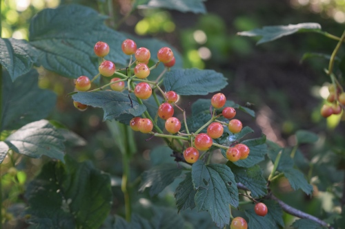 Cranberrybush Viburnum 'Redwing' fruit, not quite ripe, on a young shrub.