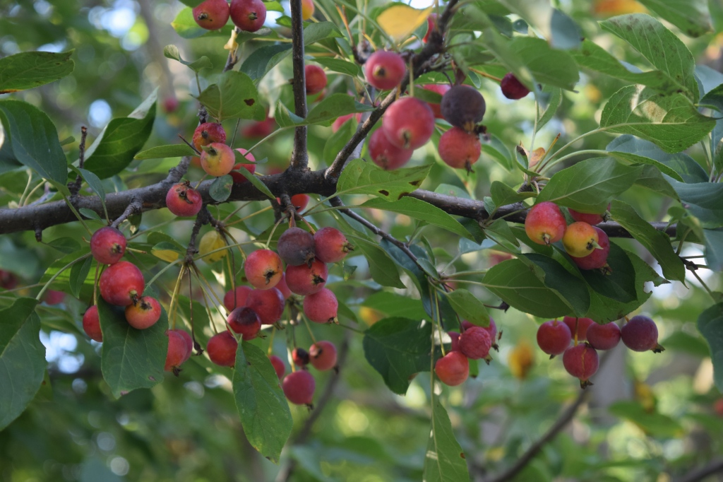 'Donald Wyman' Crabapple