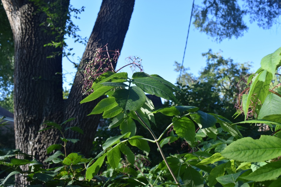 In early September, only a few unripe elderberries remained.