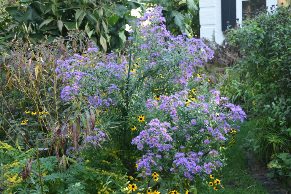 New England Aster in the Island Bed.