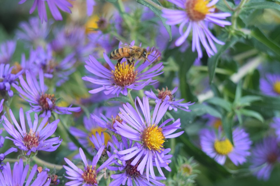 New England Aster up close, with bee.