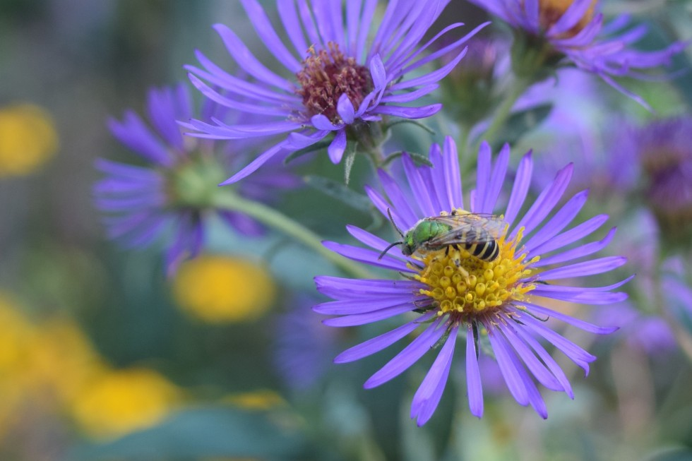 New England Aster with Metallic Green Bee