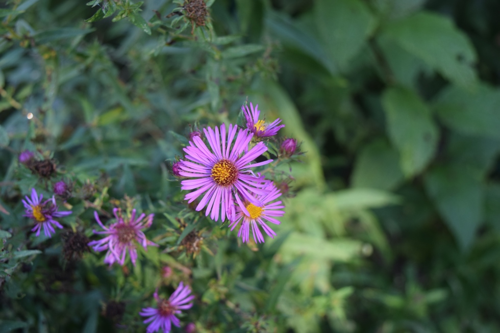 The flowers of New England Aster come in a range of colors.