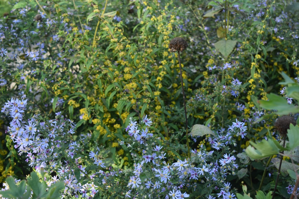 Short's  Aster with Blue Stem Goldenrod