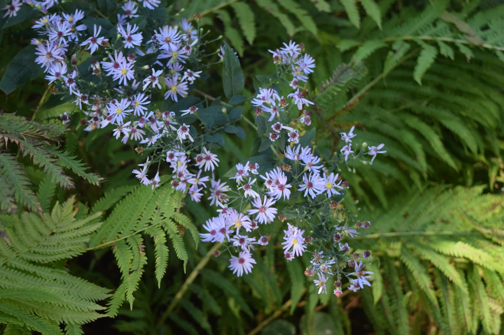 Short's Aster with ferns.