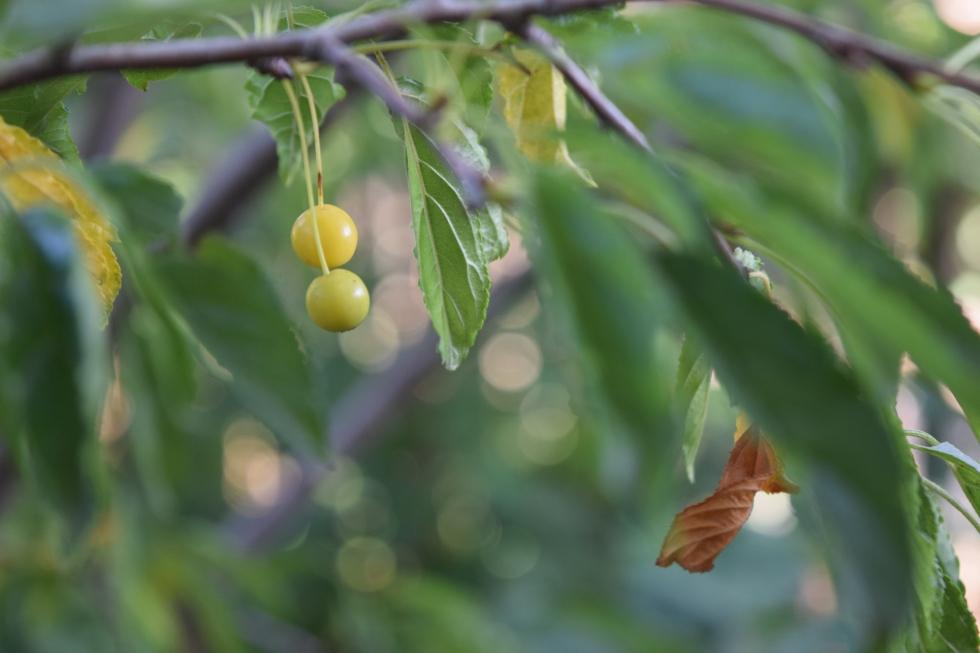 'Golden Raindrops' Crabapple