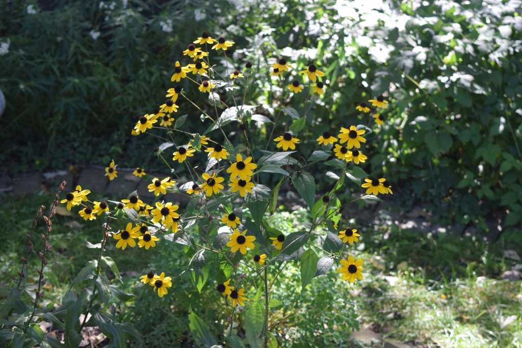2014-10-05 13.37.19 Brown Eyed susan