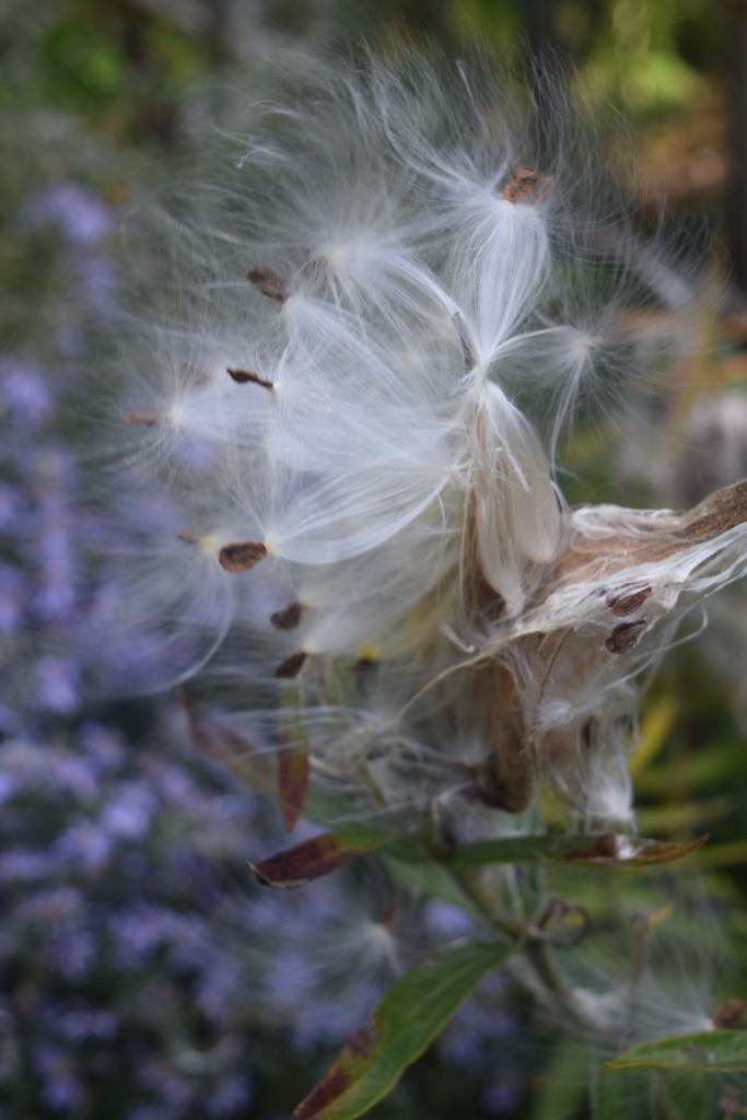2014-10-05 13.41.03 swamp milkweed