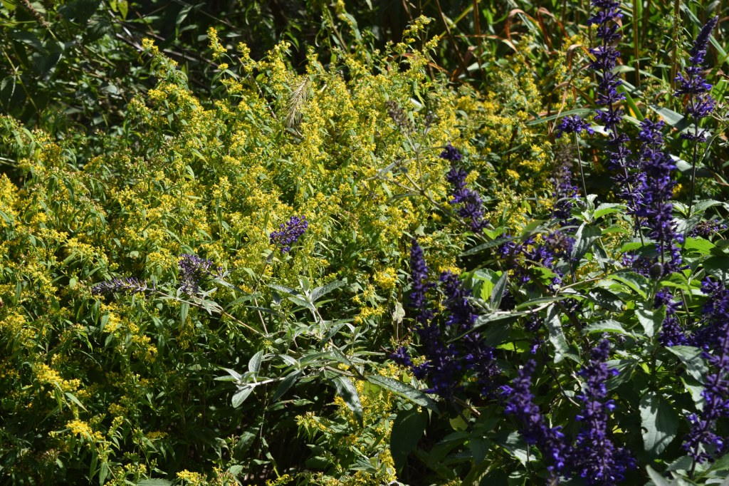 2014-10-05 14.01.27 Salvia with bluestem goldenrod
