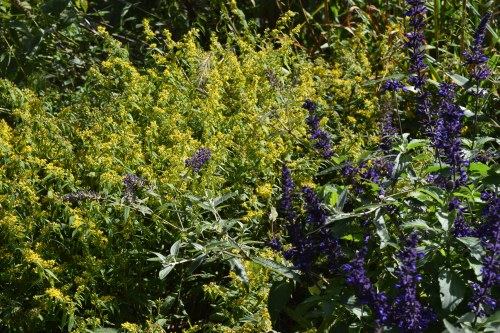 2014-10-05 14.01.27 Salvia with bluestem goldenrod