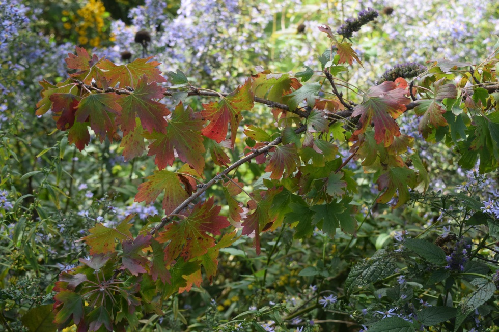 2014-10-05 14.05.56 clove currant