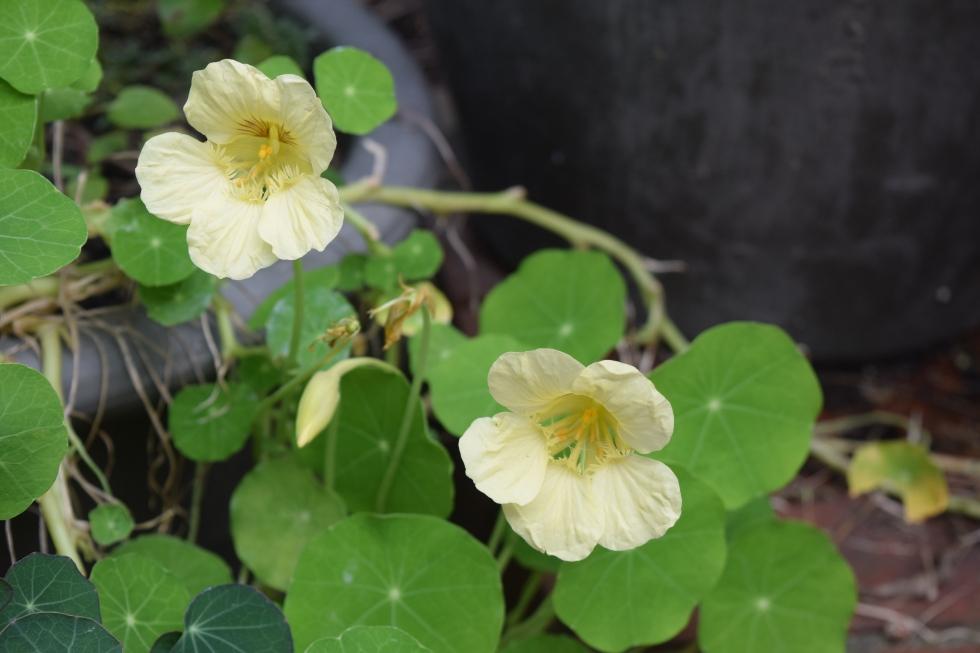 2014-10-05 14.10.31 nasturtiums