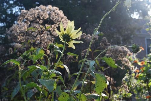 2014-10-20 09.25.03 sunflower and Joe Pye weed