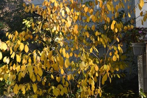 2014-10-20 09.26.15 spicebush fall foliage