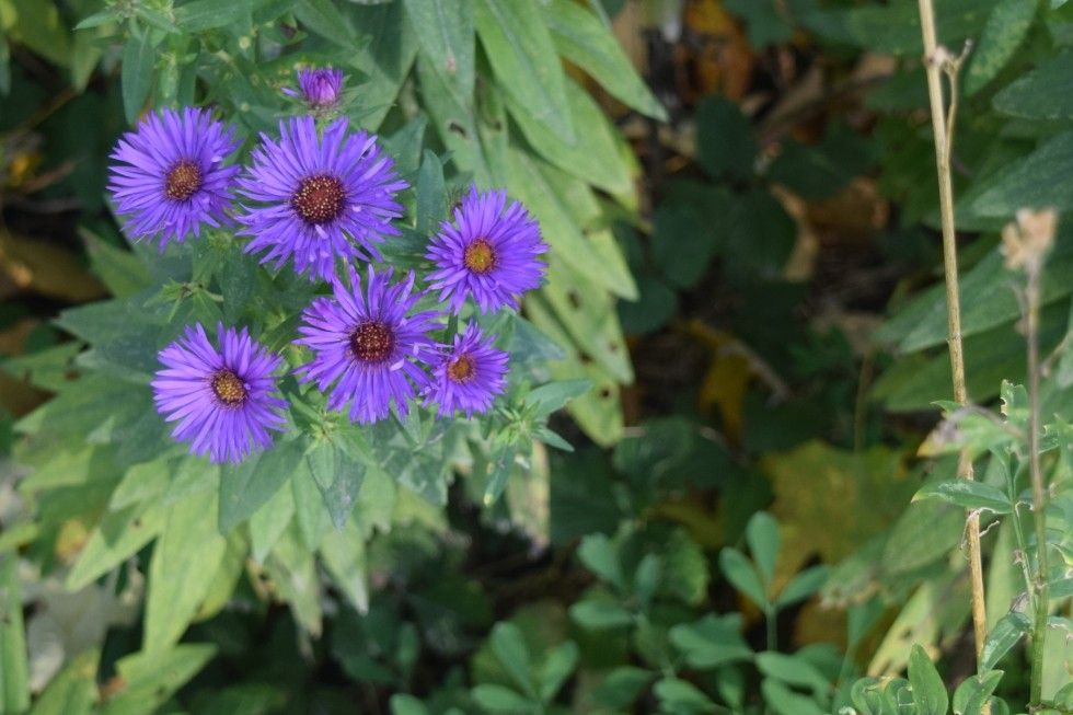 2014-10-20 09.26.54 purple dome new england aster