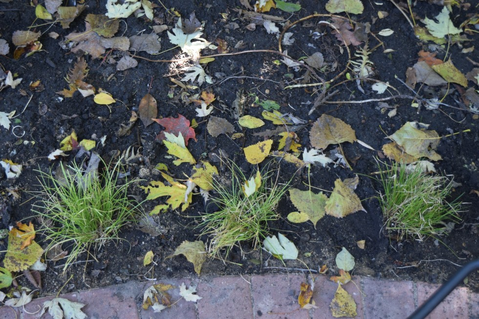 Eastern Star Sedge, newly planted along the edge of the patio.