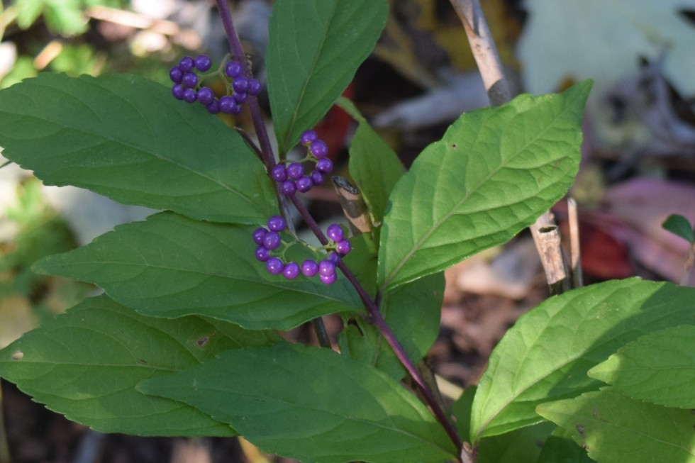 2014-10-20 09.29.28 beautyberry