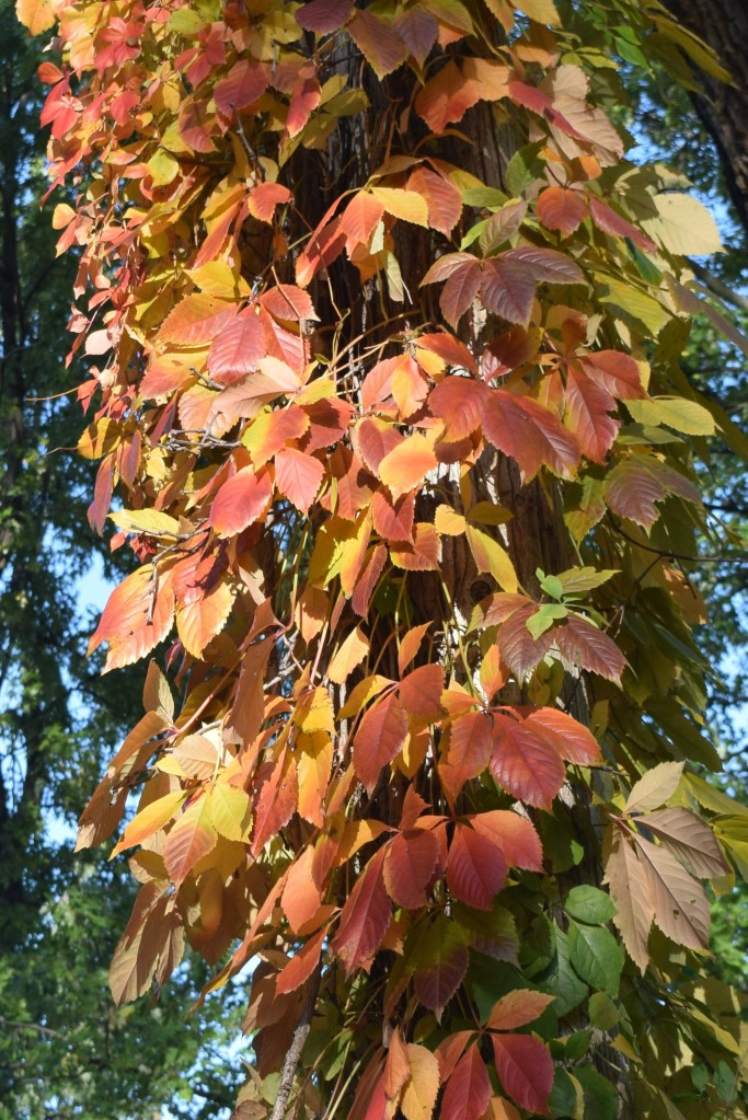 2014-10-20 09.29.53 virginia creeper