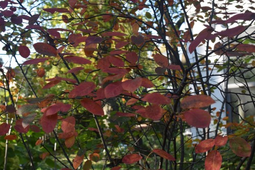 2014-10-20 09.38.54 serviceberry