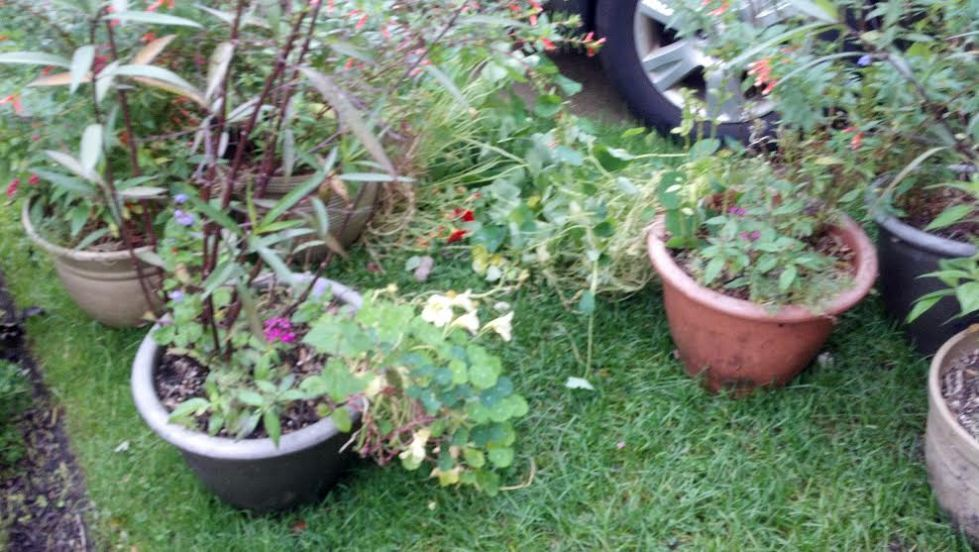 Plants waiting to be dislodged. The Mexican Petunia put up massive resistance. I took most of these pics with my phone.
