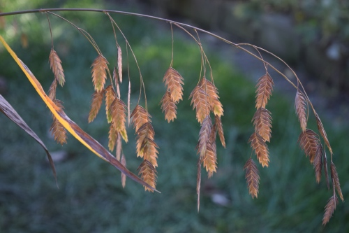 The Northern Sea Oats just gets better and better. The seeds turn from green to tan to golden brown.