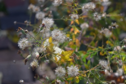 But the flowers of most have matured to small fluffy seedheads.