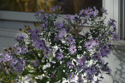 Some asters are still blooming, like these Short's Aster.