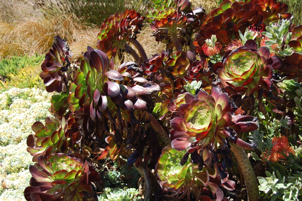 """Aeonium on the march. """"Take us to your leader."""""""