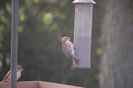 Hey, house sparrow! That nyjer seed is for the goldfinches! And it's expensive!