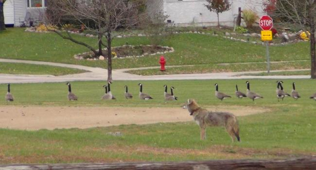 Coyotes enjoy the suburban life. Photo from chicagourbanresearch.com.