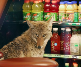 You want that toasted? Coyote at downtown Chicago Quiznos. Photo from NPR.