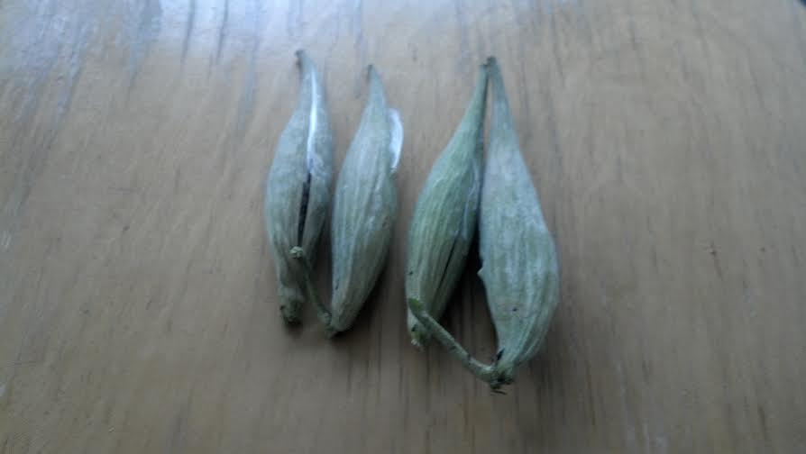 Purple Milkweed seed pods after picking