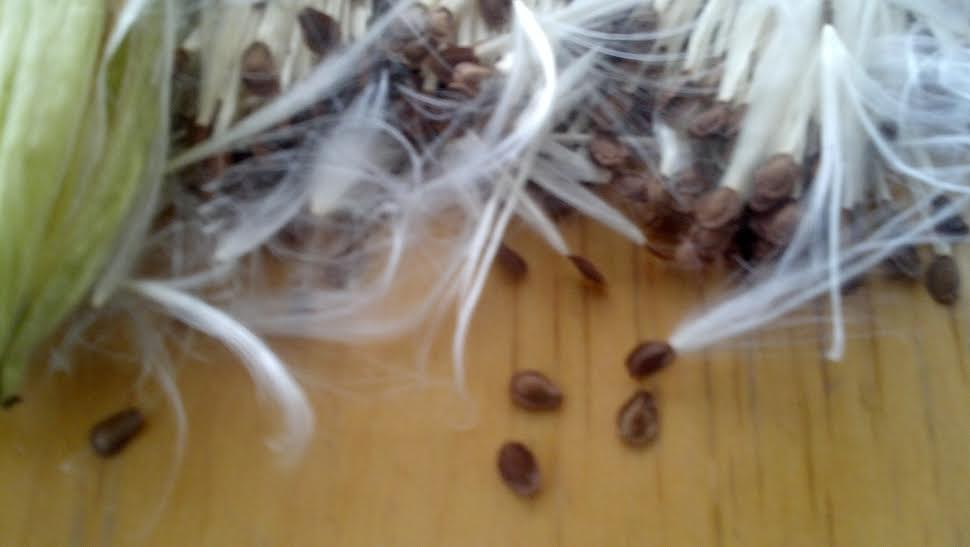Purple Milkweed seeds