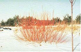 Suckering dogwood. Photo from University of Minnesota Extension Service.